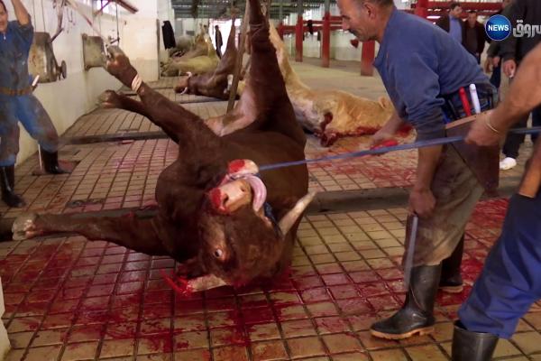 صادم| جزائريون يذبحون البقر بطريقة غير إسلامية