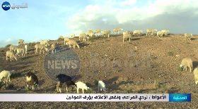 الأغواط / تردي المراعي ونقص الأعلاف يؤرق الموالين