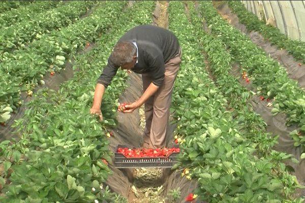 جيجل: طموح تصدير الفراولة إلى الأسواق الخارجية يكبر رغم العراقيل